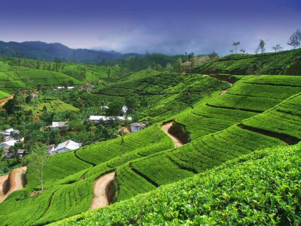 Нувара Элия — чайные плантации, водопады, архитектура и дух Англии…